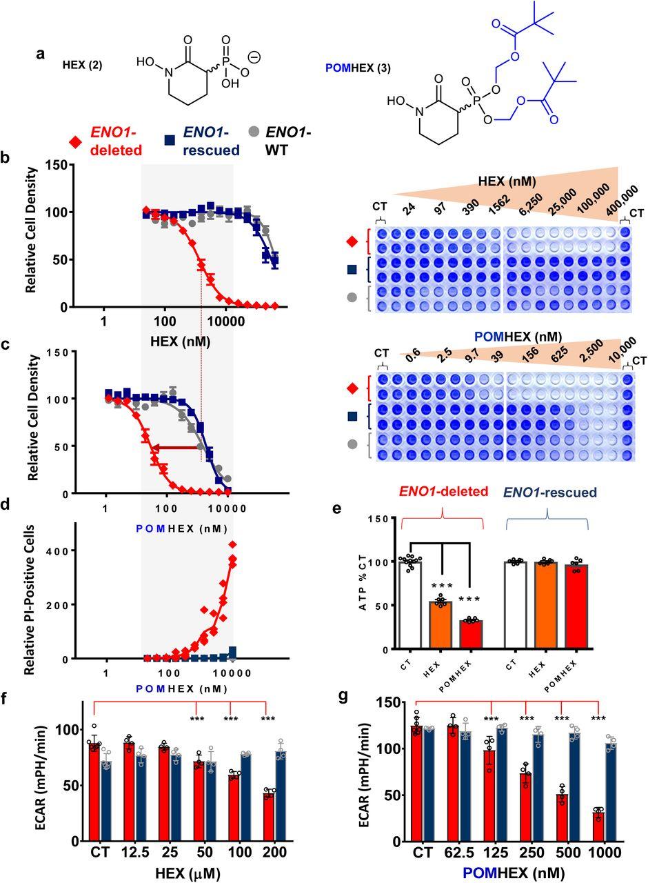 Eradication of ENO1-deleted Glioblastoma through Collateral