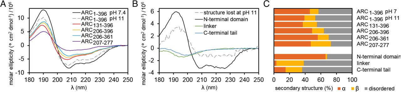 Structure of monomeric full-length ARC sheds light on