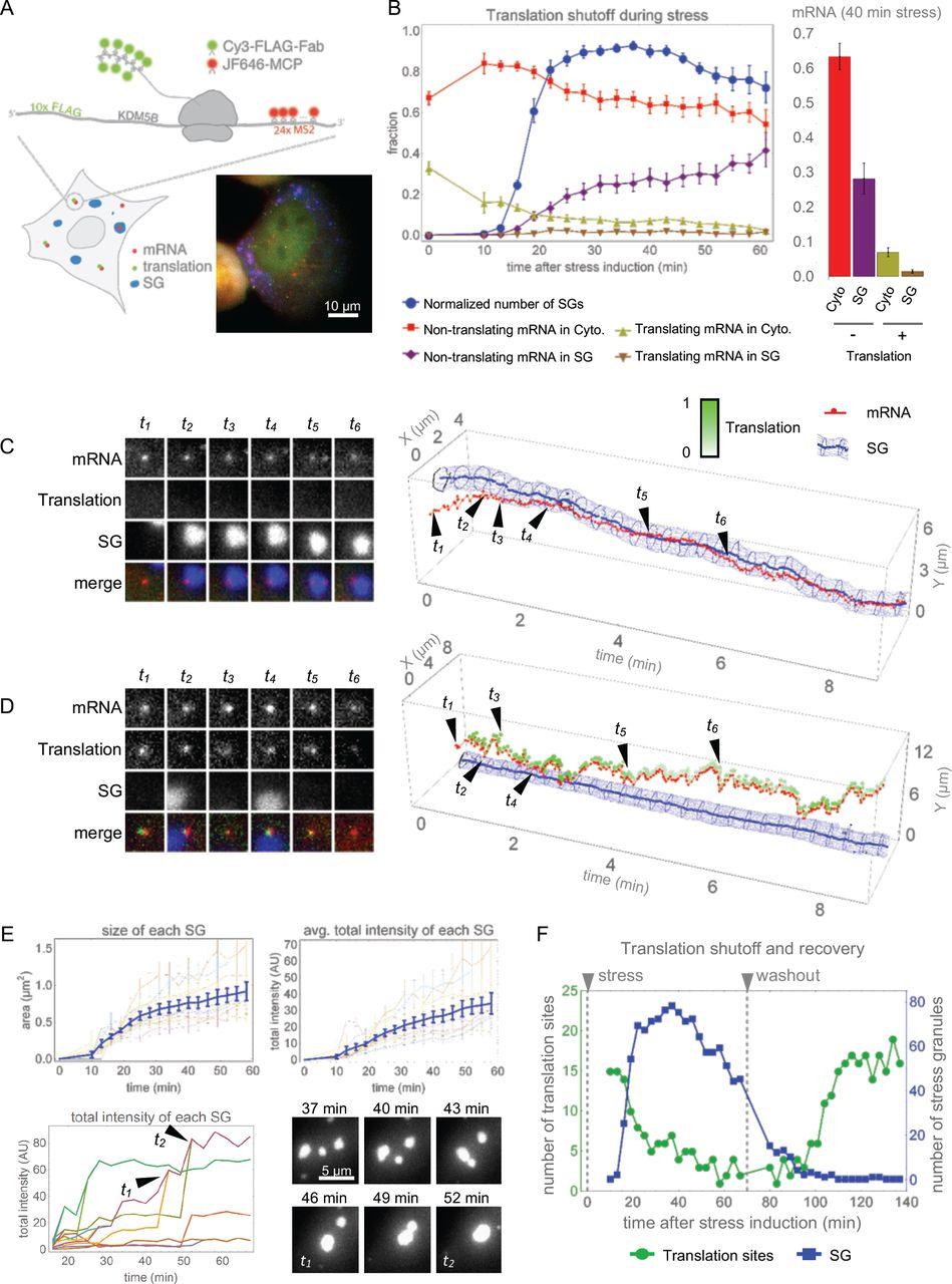 Imaging of single mRNA translation repression reveals