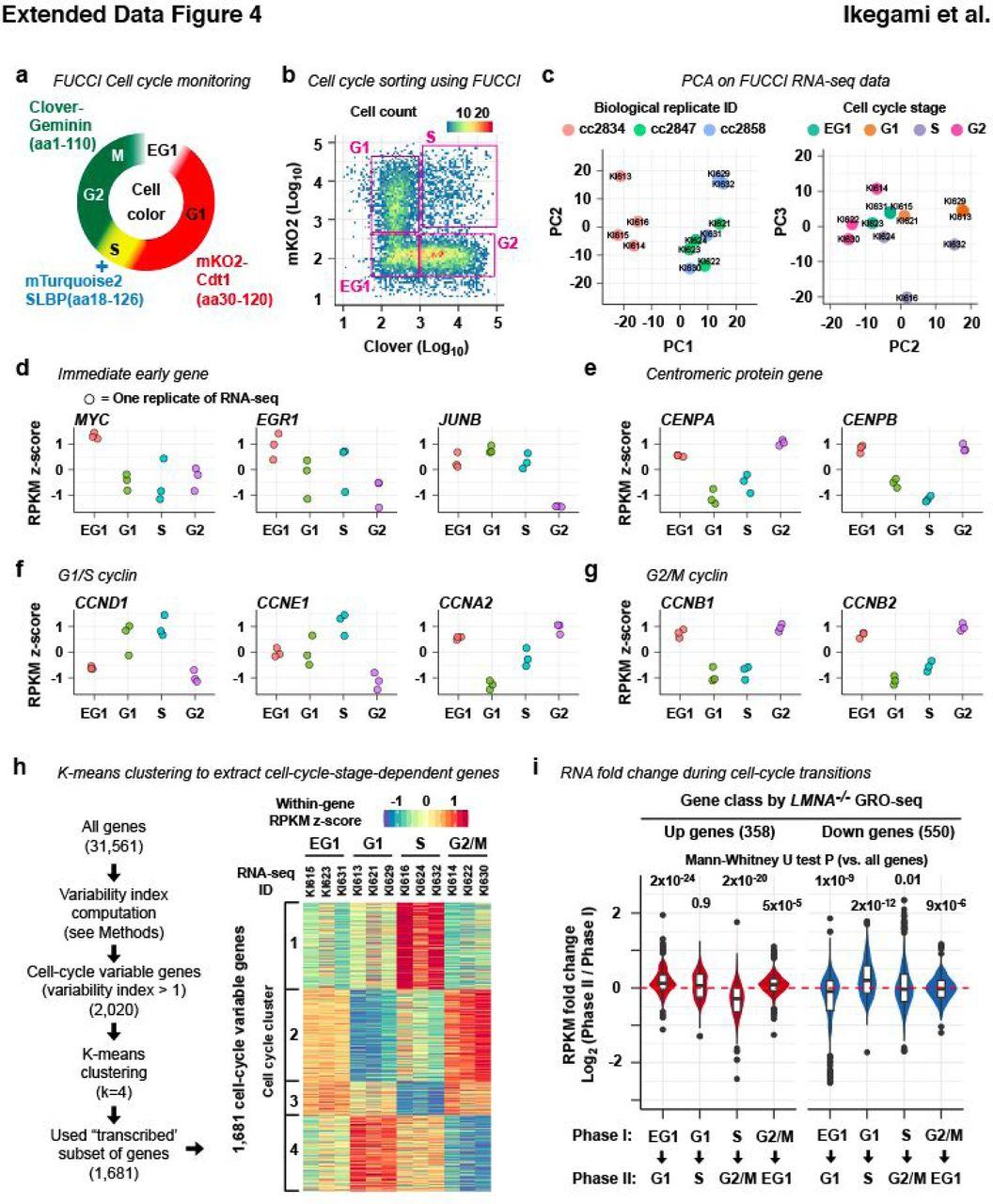 Depolymerized lamins link nuclear envelope breakdown to mitotic