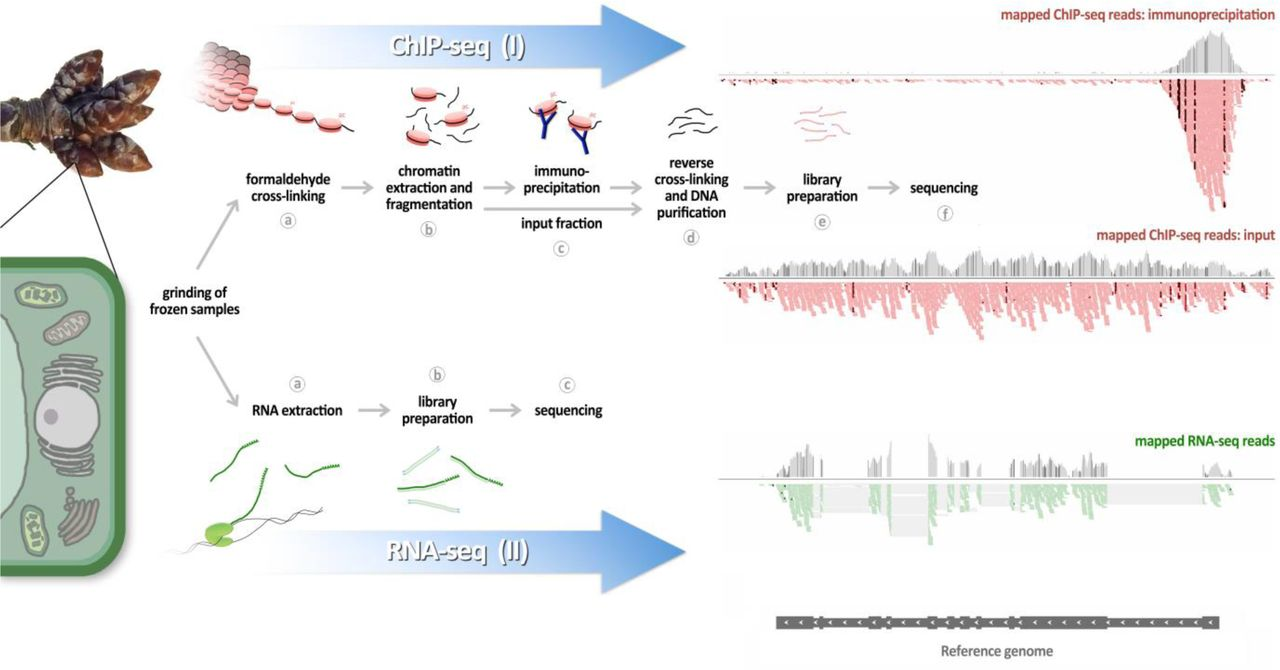Chromatin immunoprecipitation-sequencing and RNA-sequencing