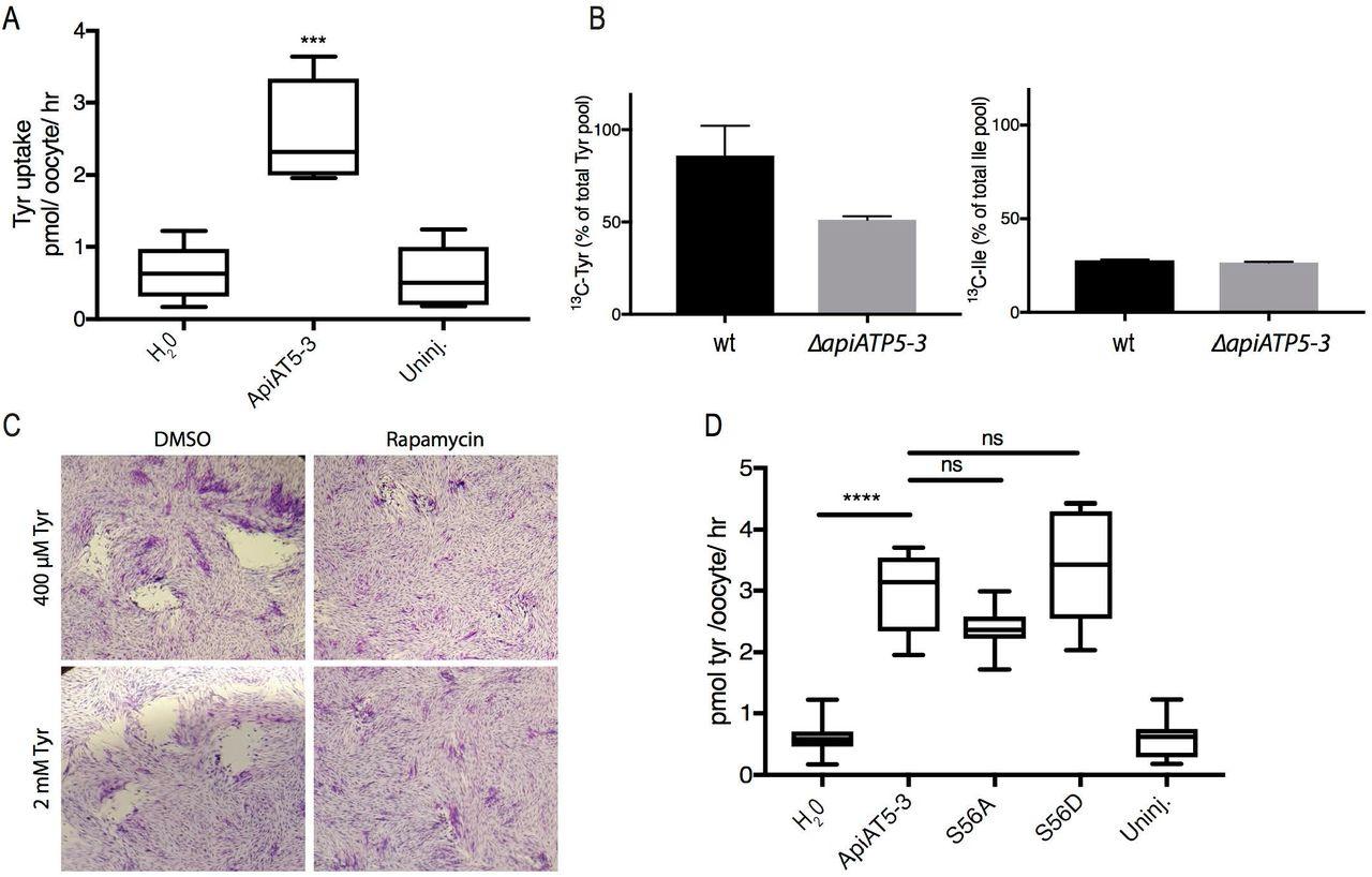 Phosphorylation of a Toxoplasma gondii tyrosine transporter by
