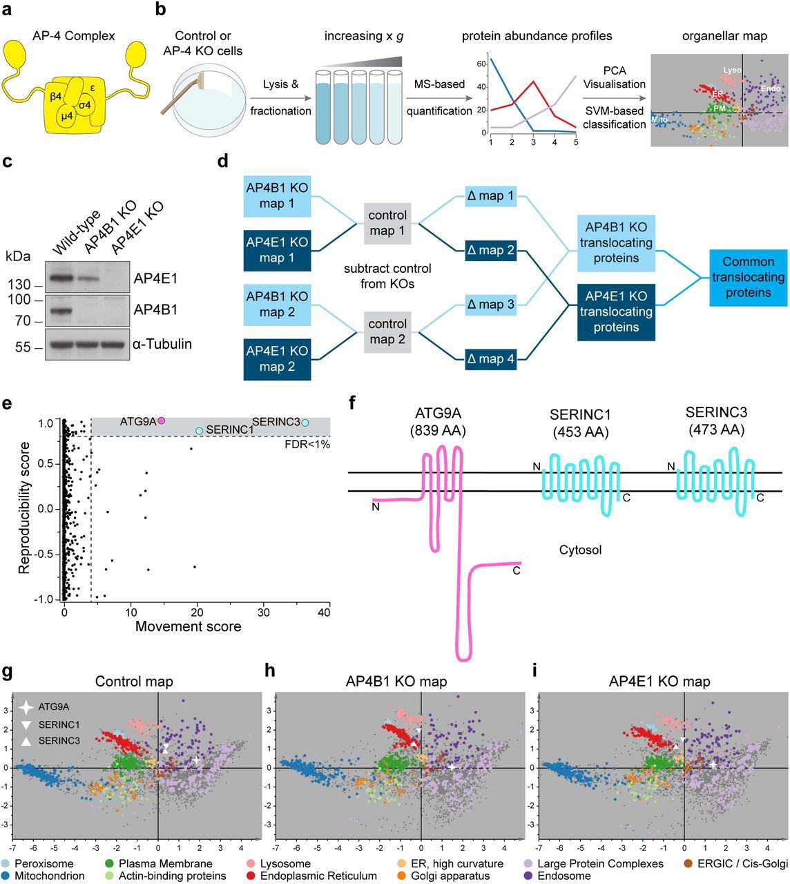 AP-4 vesicles contribute to spatial control of autophagy via