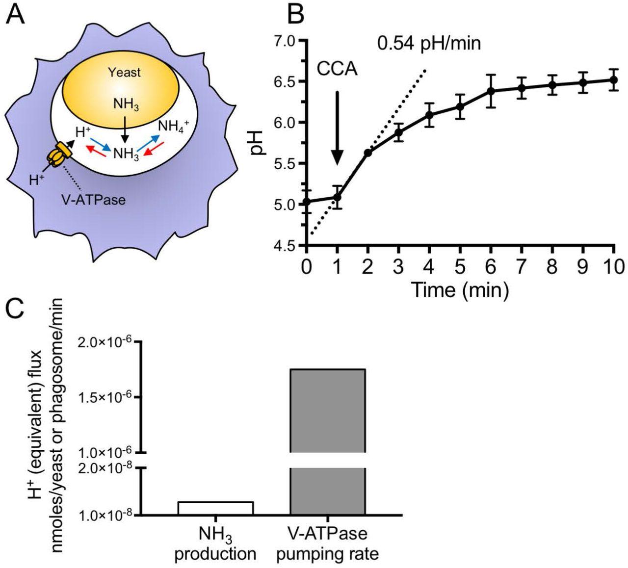 Candida albicans hyphal expansion causes phagosomal membrane damage