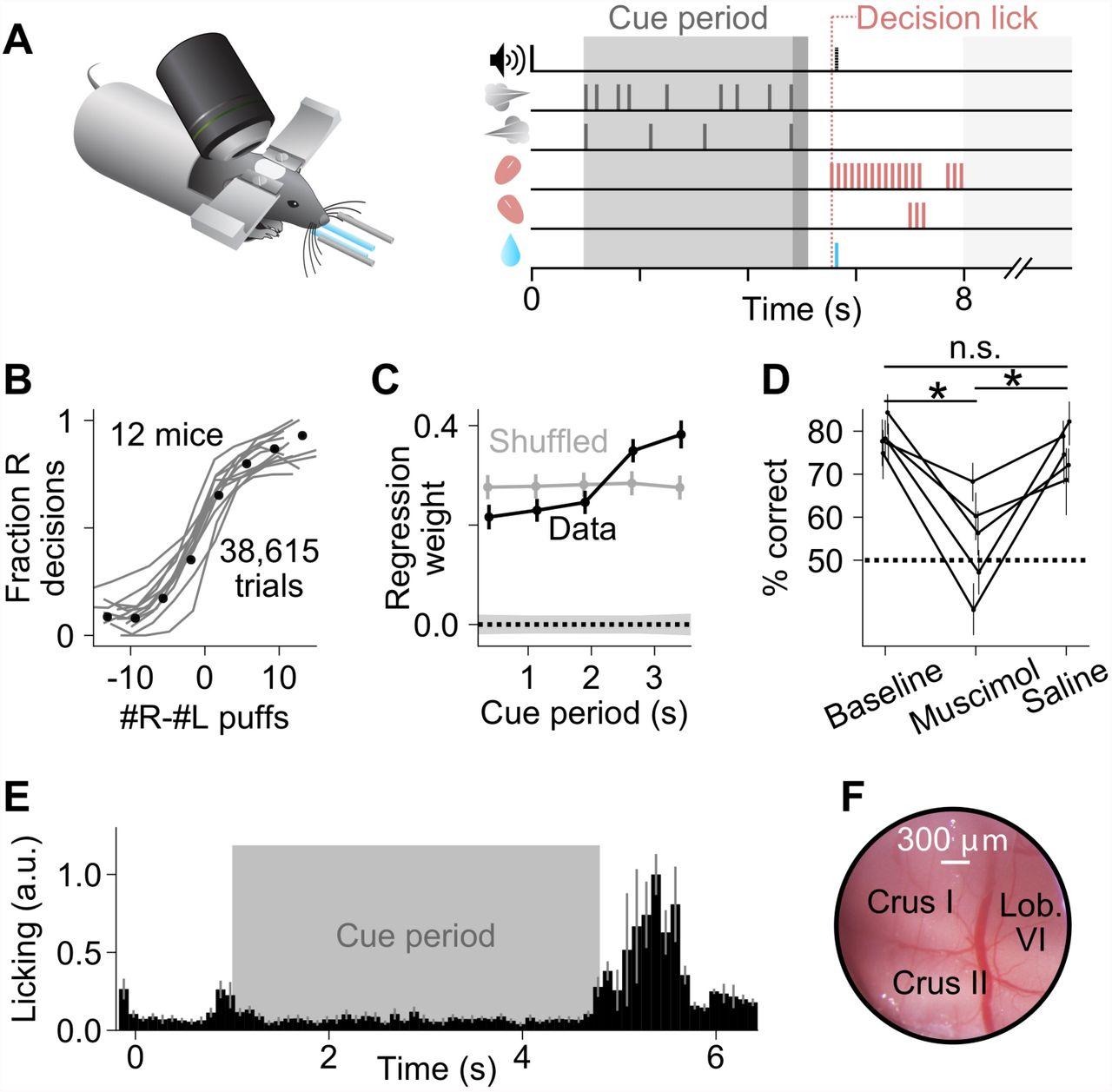 A cerebellar role in evidence-guided decision-making | bioRxiv
