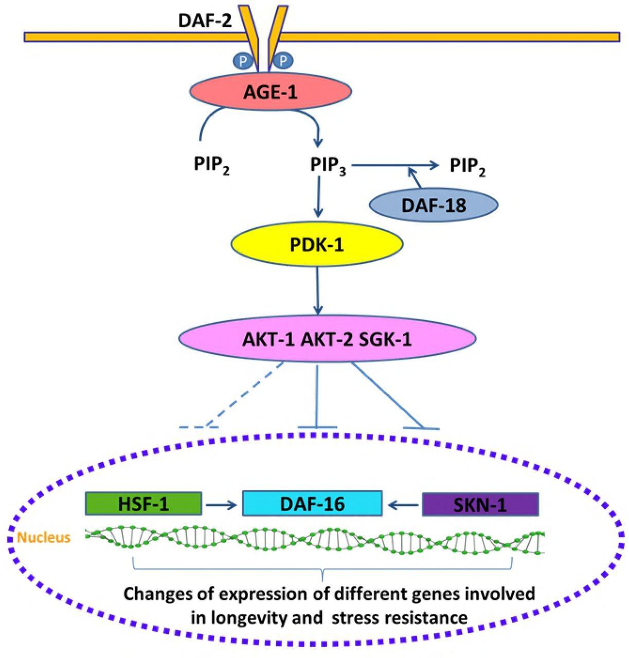 Epicatechin modulates stress-resistance in C  elegans via
