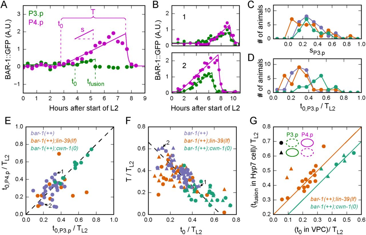 Variability in the timing of a β-catenin pulse biases a stochastic