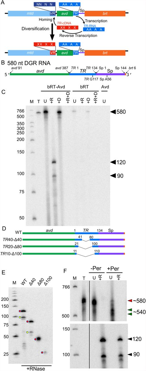 """In vitro template-primed cDNA synthesis. (A) Bordetella bacteriophage DGR diversification of Mtd. mtd contains a variable region ( VR ), which encodes the receptor-binding site of the Mtd protein. Downstream of VR is the template region ( TR ). Adenines in TR (""""A"""") are frequently replaced by another base in VR (""""N""""). TR is transcribed to produce TR -RNA, which is then reverse transcribed to TR -cDNA. During this process, adenines in TR are mutagenized, as depicted by """"X"""" in TR -cDNA. Adenine-mutagenized TR -cDNA homes to and replaces VR , resulting in diversification of Mtd. bRT is the DGR reverse transcriptase, and avd the DGR accessory variability determinant. (B) Sequence elements of the 580 nt DGR RNA template used for reverse transcription reactions. (C) bRT-Avd, bRT, or Avd was incubated with the 580 nt DGR RNA and dNTPs, including [α- 32 P]dCTP, for 2h. Products resulting from the incubation were untreated (U), or treated with RNase (+R), DNase (+D), or both RNase and DNase (+R+D), and resolved by 8% denaturing polyacrylamide gel electrophoresis (PAGE). Lane T corresponds to internally-labeled 580 nt DGR RNA as a marker for the size of the template. The positions of the 580 nt band, and 120 and 90 nt cDNA bands are indicated. Nuclease-treated samples were loaded at twice the amount as untreated samples, here and throughout unless otherwise indicated. Lane M here and throughout corresponds to radiolabeled, single-stranded DNA molecular mass markers (nt units). (D) DGR RNA templates containing internal truncations in TR . (E) Radiolabeled cDNA products resulting from bRT-Avd activity for 2 h with intact (WT) or internally truncated 580 nt DGR RNA as template. Samples were treated with RNase and resolved by denaturing PAGE. The positions of the 120 and 90 nt cDNAs produced from intact template are indicated by red and yellow circles, respectively, as are positions of the correspondingly shorter cDNAs produced from truncated RNA templates. (F) Radiolabeled produc"""