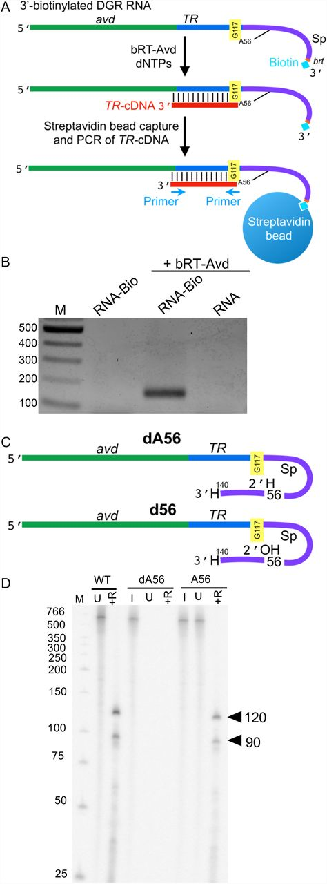 Branched RNA-cDNA. (A) The 580 nt DGR RNA was biotinylated at its 3' end and used as a template for reverse-transcription by bRT-Avd, after which biotinylated RNA was captured with streptavidin beads, and the presence of TR -cDNA was detected by PCR using the indicated primers. (B) The 580 nt DGR RNA was biotinylated at its 3' end (RNA-Bio), and either reacted with no protein or used as a template for reverse transcription with bRT-Avd. The 580 nt DGR RNA in its unbiotinylated form (RNA) was also used as a template for reverse transcription with bRT-Avd. Samples were then purified using streptavidin beads, and the presence of TR -cDNA in the purified samples was assessed by PCR. Products from the PCR reaction were resolved on an agarose gel. (C) Hybrid dA56 580 nt DGR RNA containing deoxyadenosine at Sp 56 (indicated with H at 2' position) and hybrid d56 580 nt DGR RNA containing adenosine at Sp 56 (indicated with OH at 2'). Both molecules terminate at Sp 140 and have a dideoxynucleotide at the 3' end (indicated with H at 3'). (D) Radiolabeled products resulting from bRT-Avd activity for 12 h with 580 nt DGR RNA, hybrid 580 nt dA56, or hybrid 580 nt A56 DGR RNA as template. Products were untreated (U) or RNase-treated (+R), and resolved by denaturing PAGE. Separate samples of dA56 and A56 were 5' 32 P-labeled for visualization of input templates (I). The positions of the 120 and 90 nt cDNAs are indicated