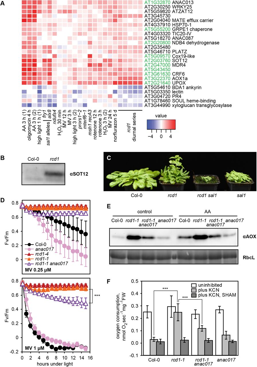 RCD1 Coordinates Chloroplastic and Mitochondrial Electron Transfer
