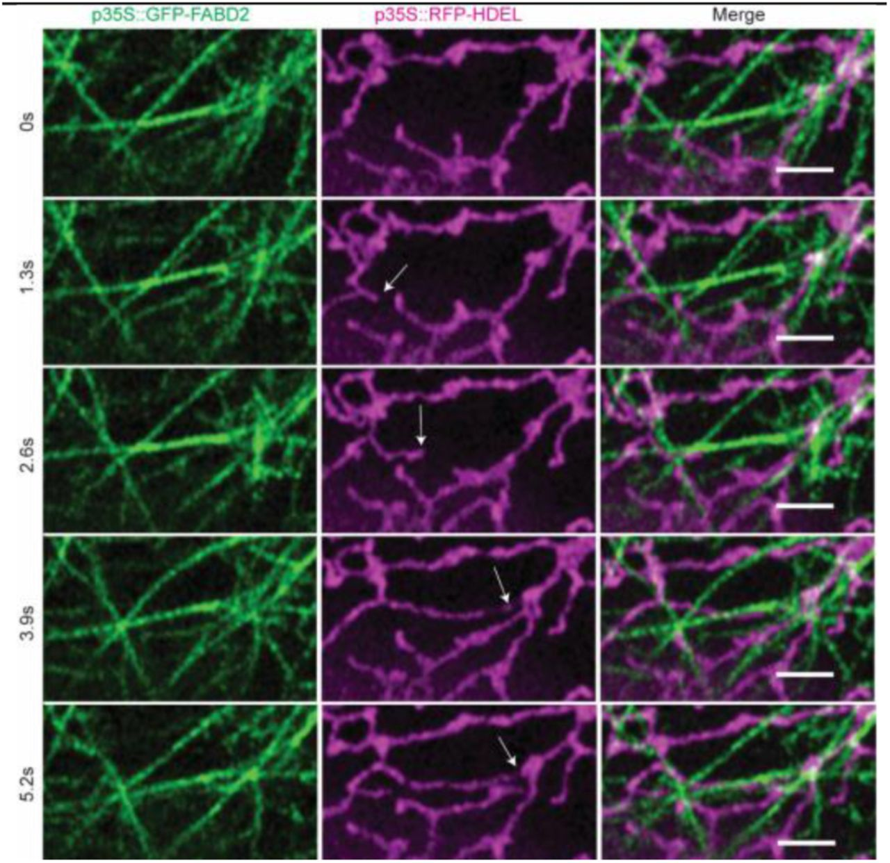 Is Actin Filament Sliding Responsible for Endoplasmic