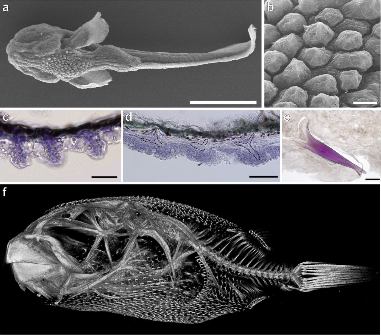 2966d8abf8f7 evolution and developmental diversity of skin spines in pufferfishFossil Fossil  3077 S Schwarz P 514 #