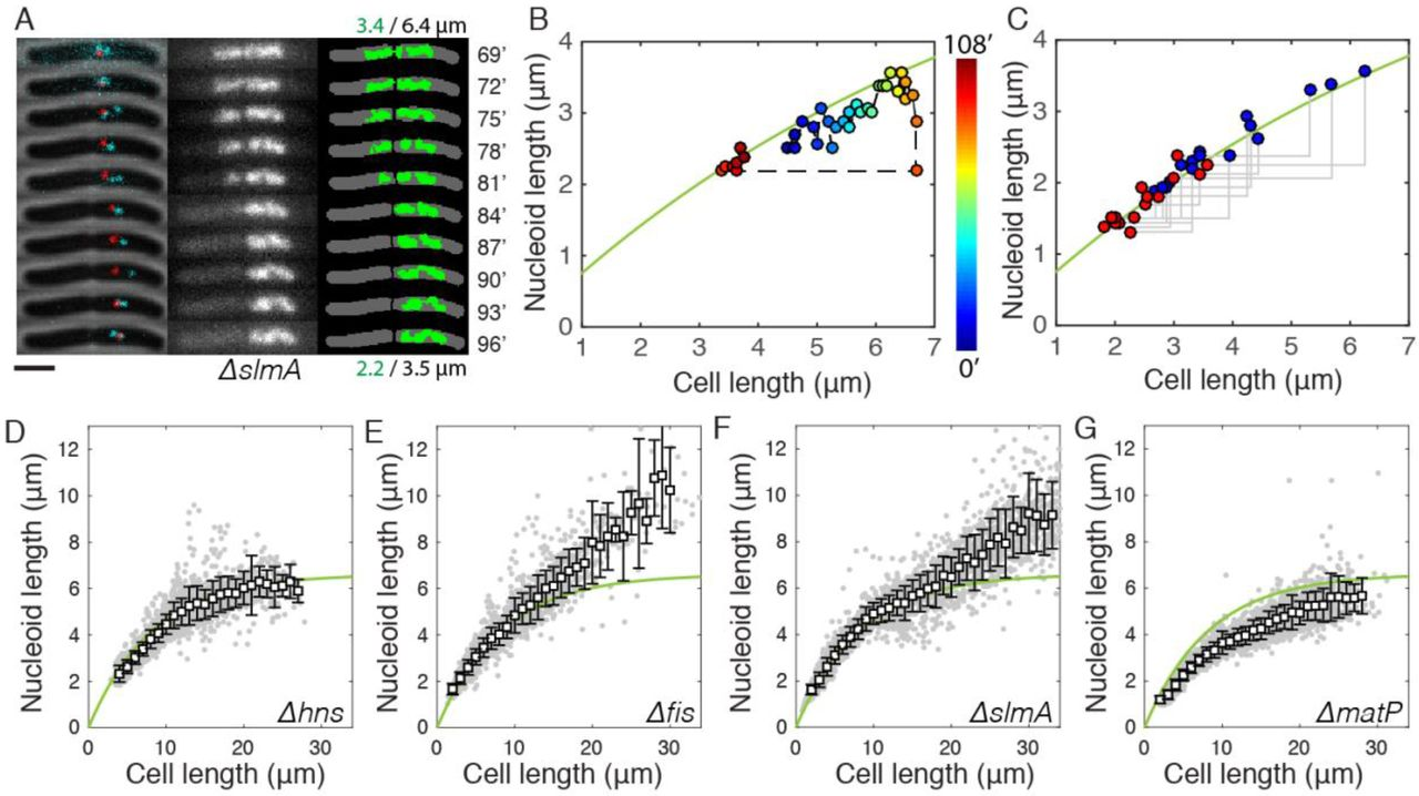 Cell boundary confinement sets the size and position of the E  coli
