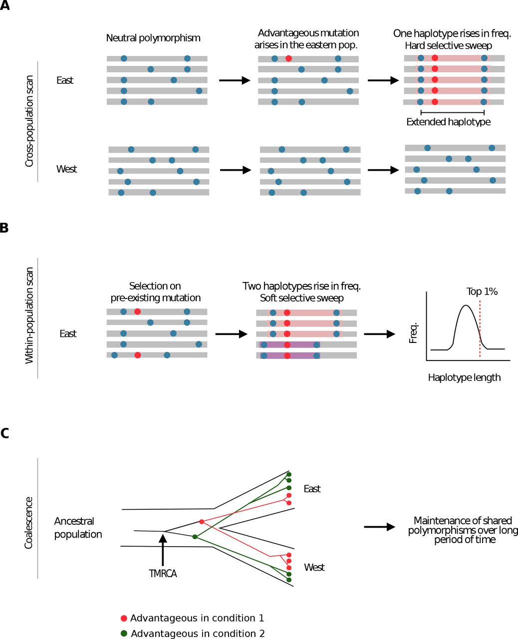 Genome-wide scans of selection highlight the impact sof