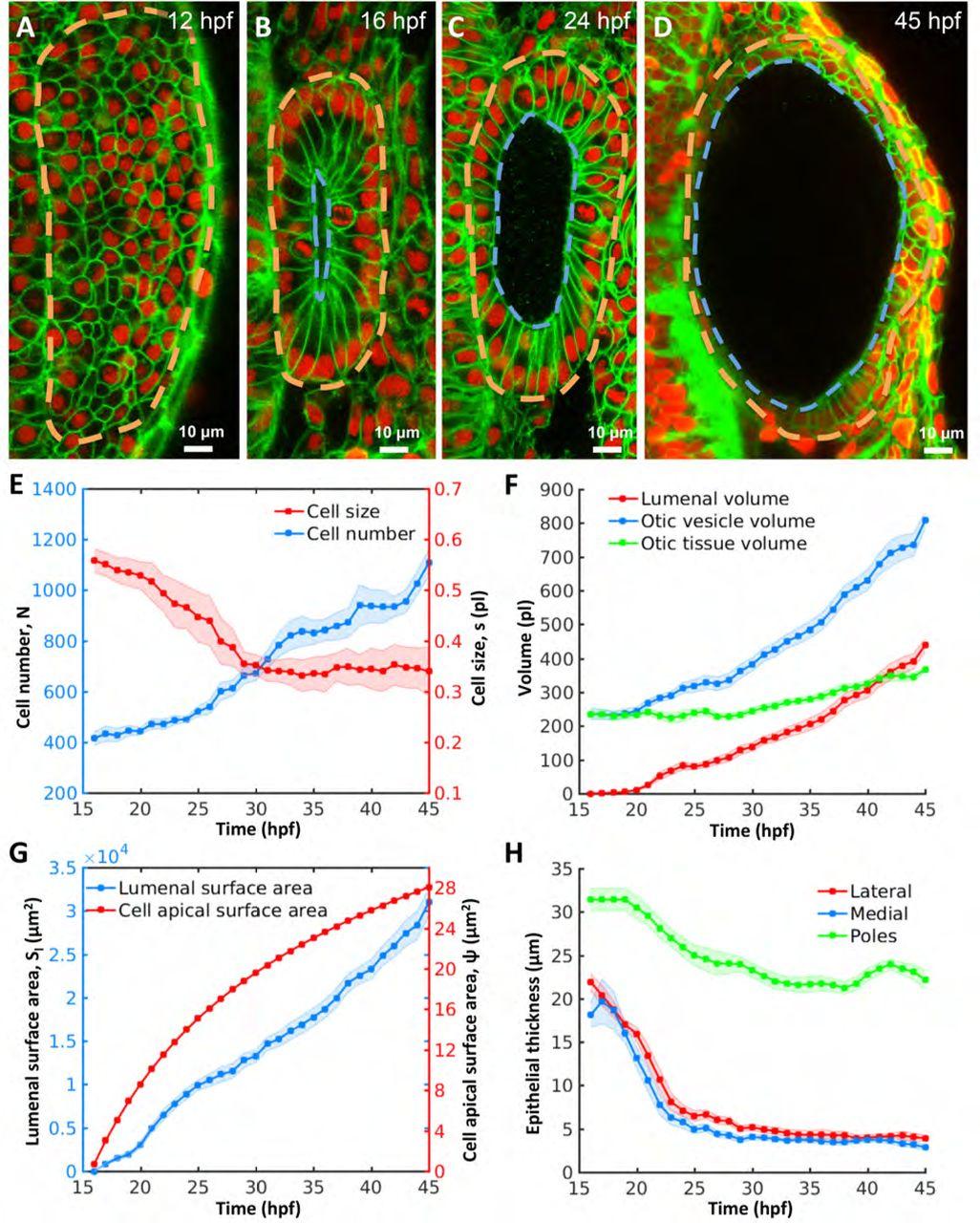 Size control of the inner ear via hydraulic feedback | bioRxiv