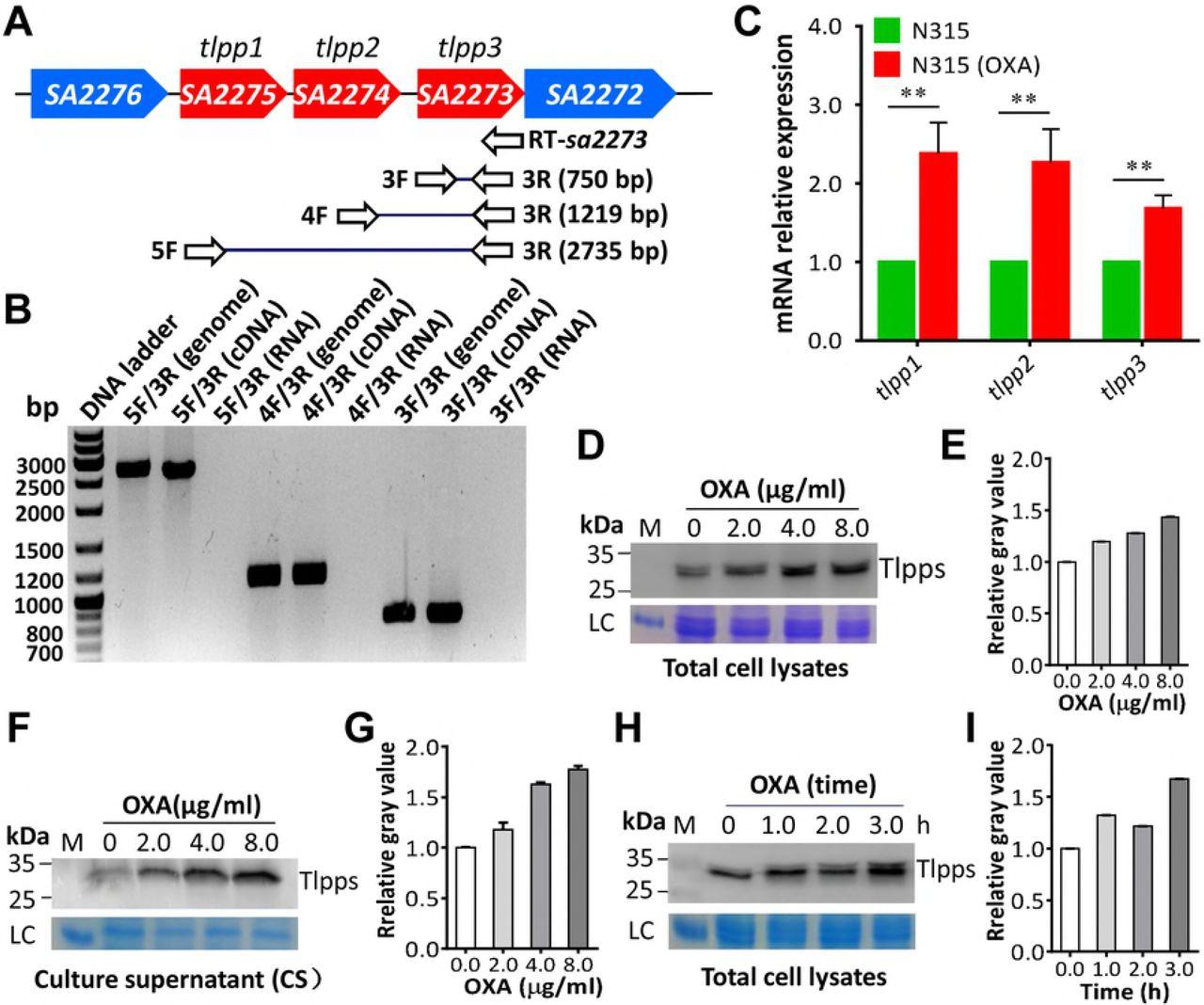 β Lactam Antibiotics Stimulate The Pathogenicity Of