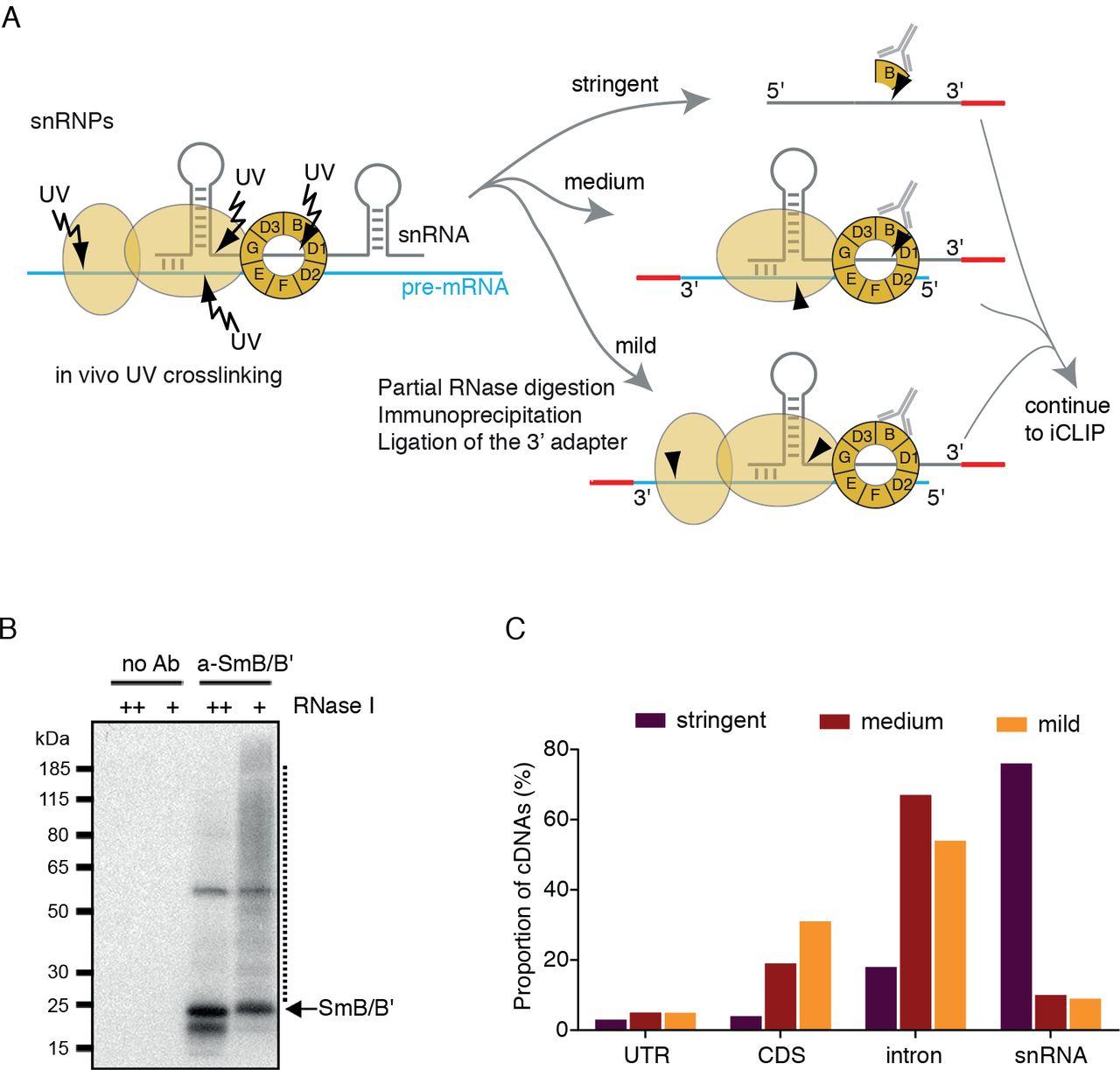 Transcriptome-wide profiling of mammalian spliceosome and