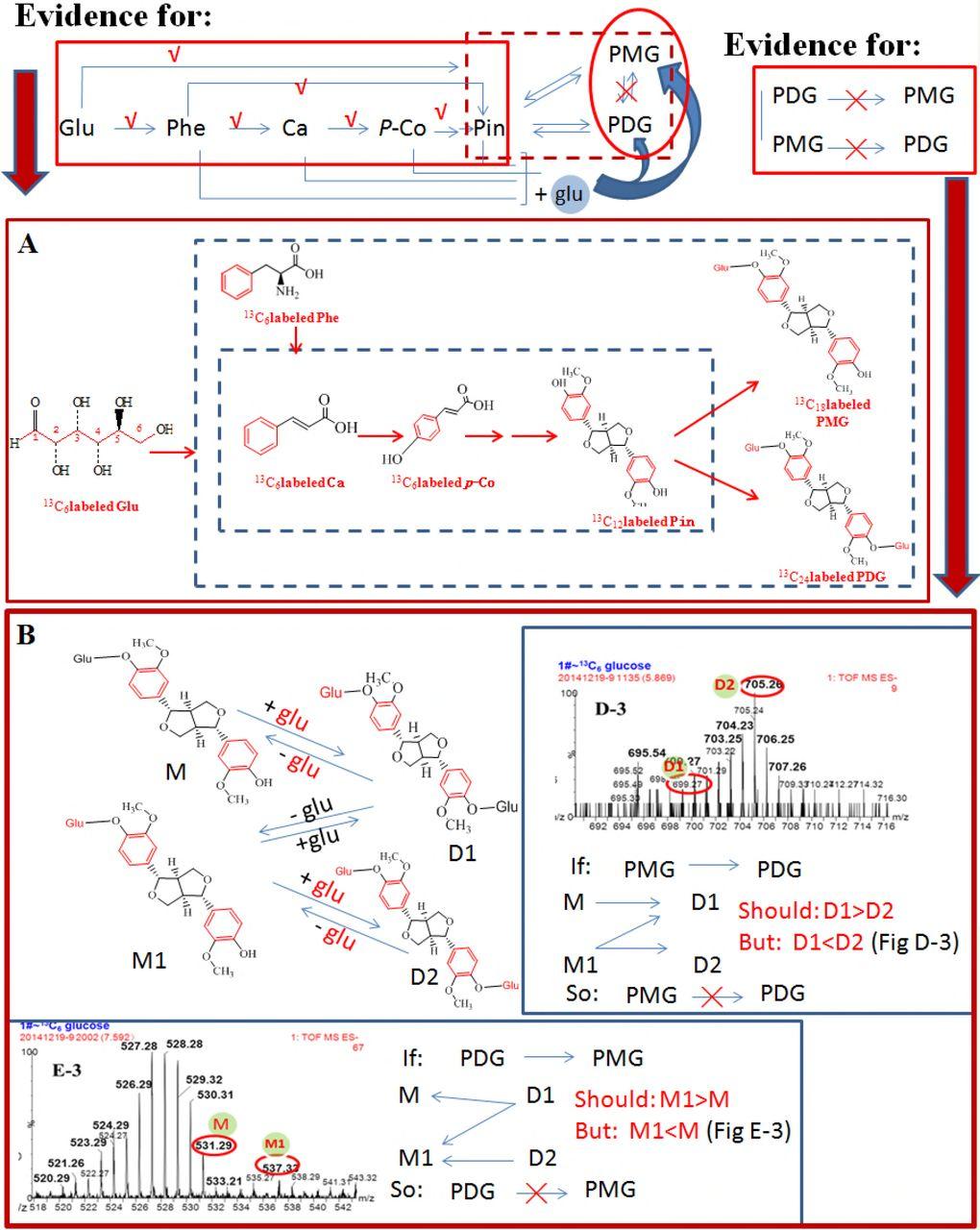 Verification of the phenylpropanoid pinoresinol biosynthetic pathway