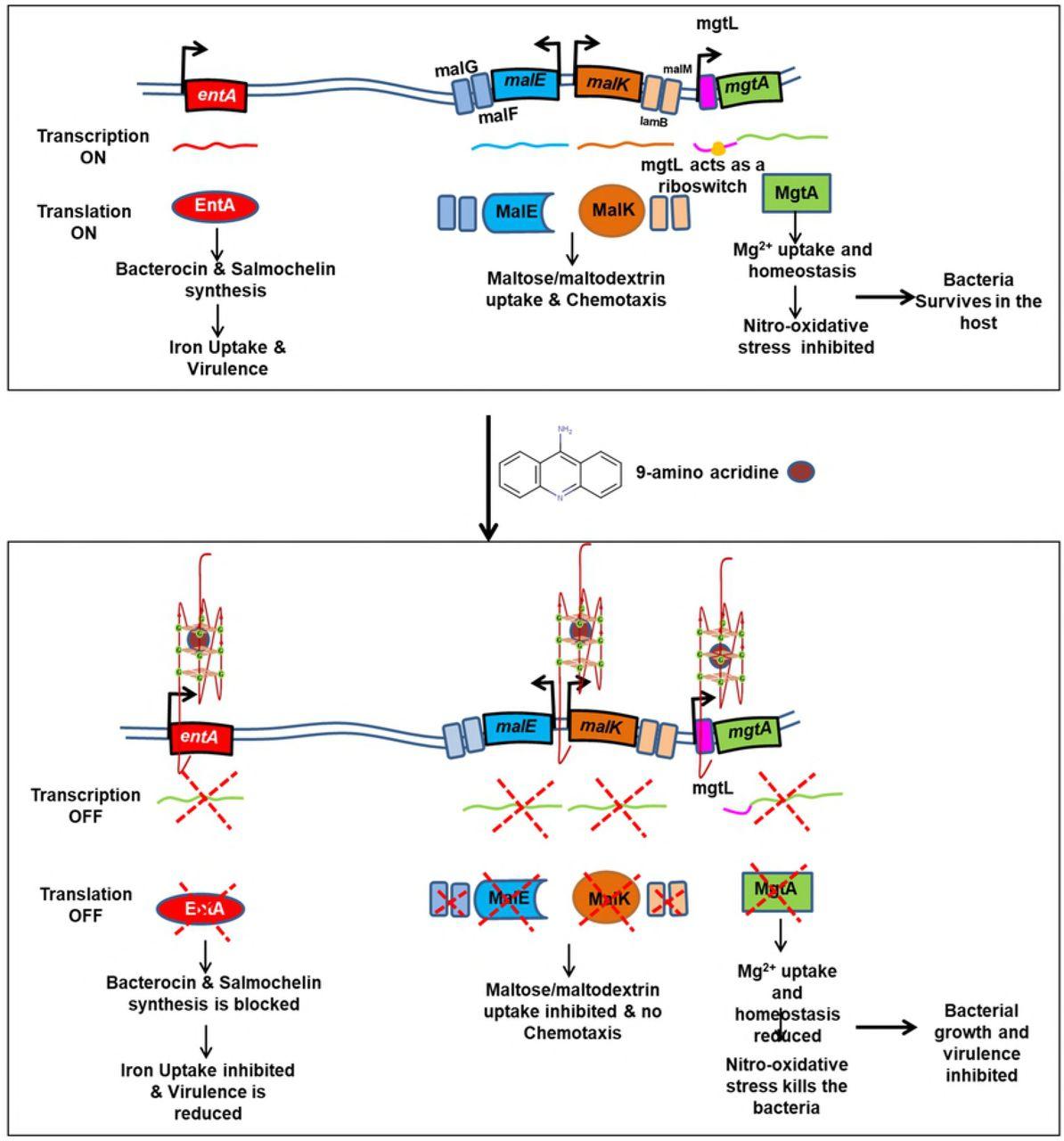 G-quadruplex stabilization in the ions and maltose transporters