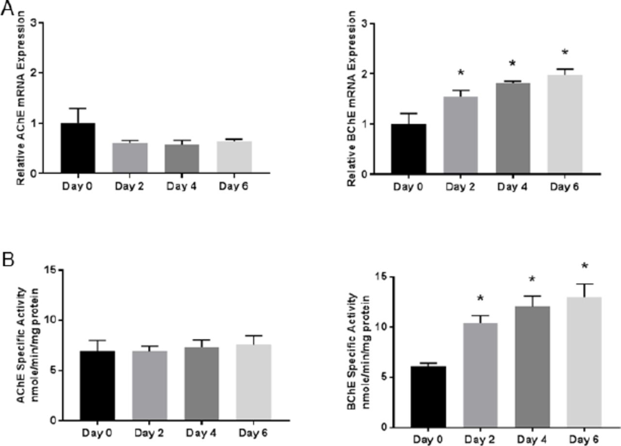 Knockdown of butyrylcholinesterase but not inhibition by