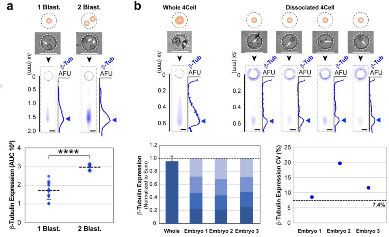Single-embryo and single-blastomere immunoblotting reports protein