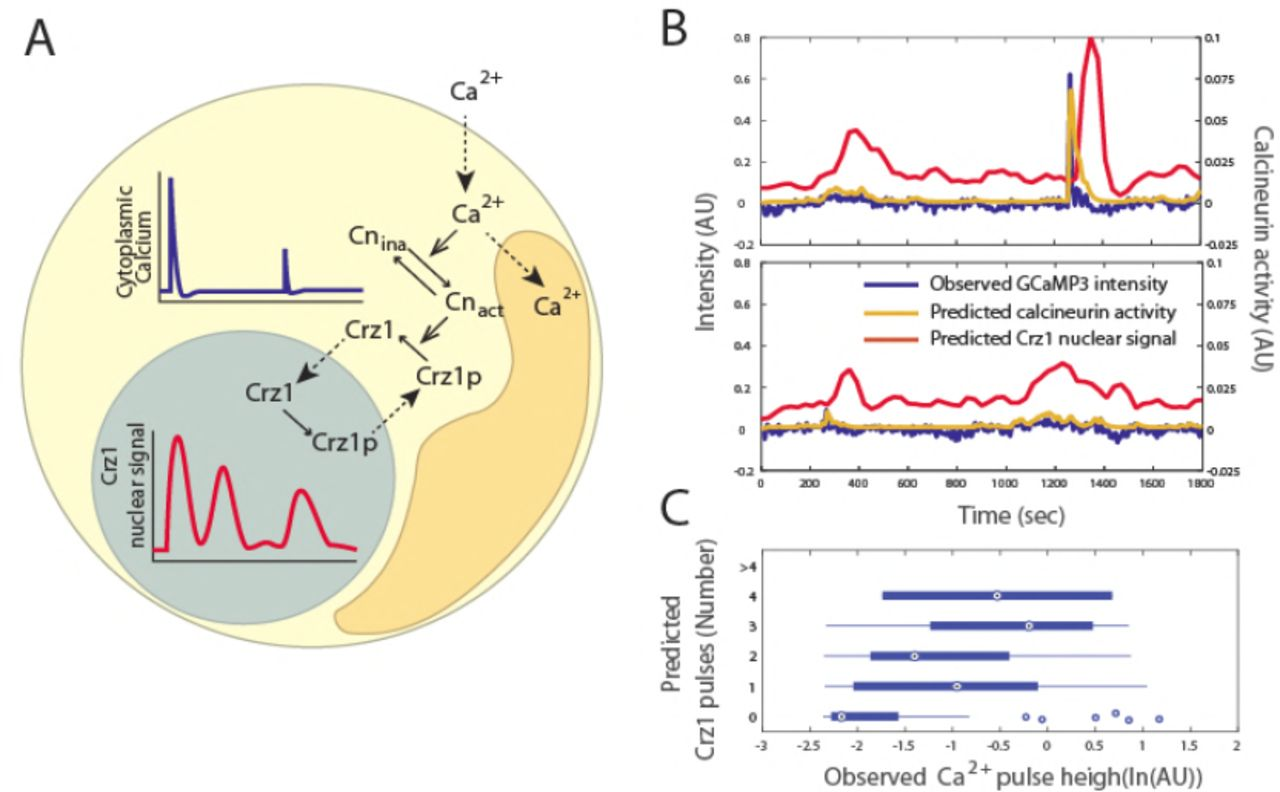 An analog to digital converter creates nuclear localization