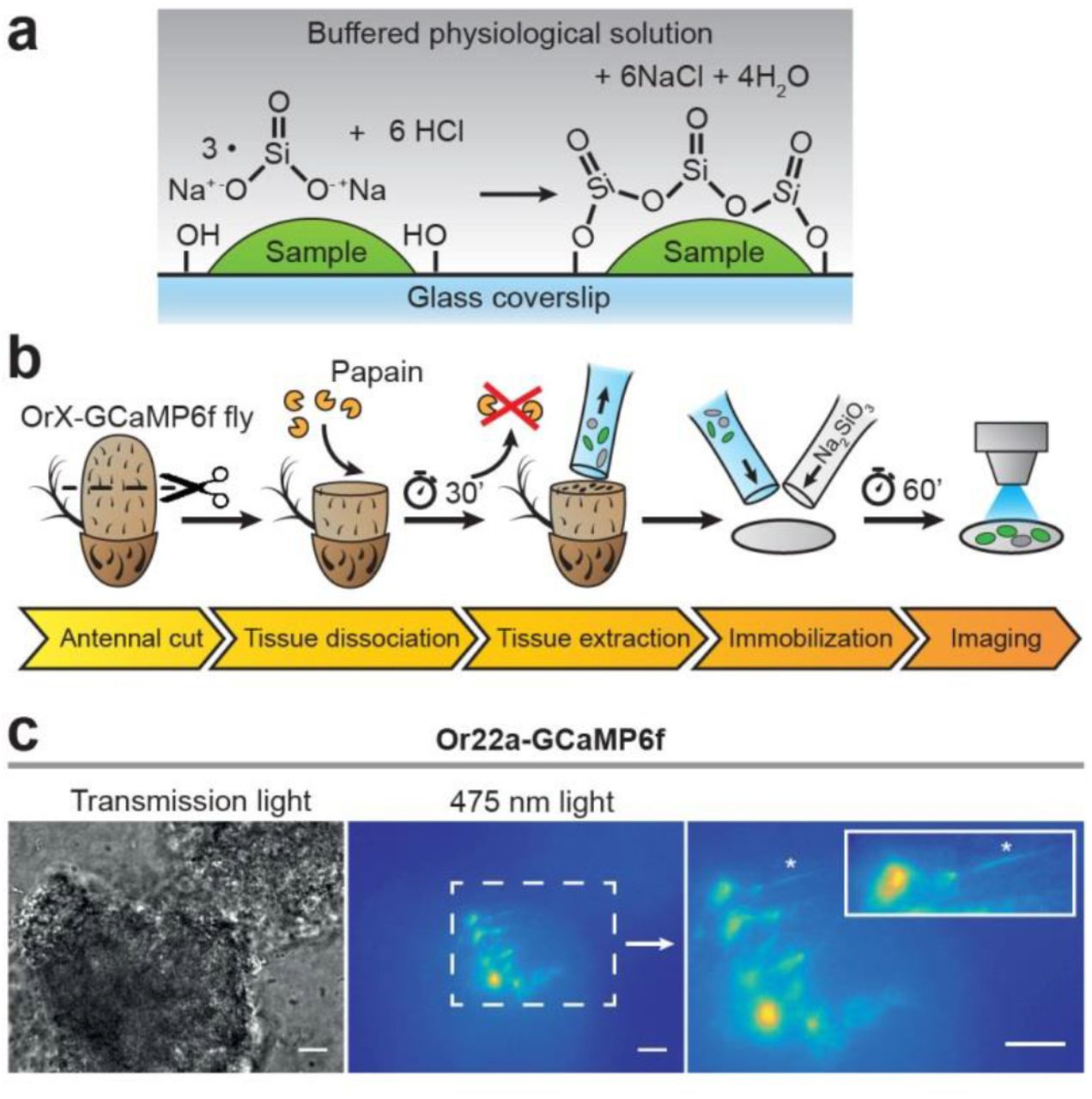 Tissue embedding in a silica hydrogel for functional investigations