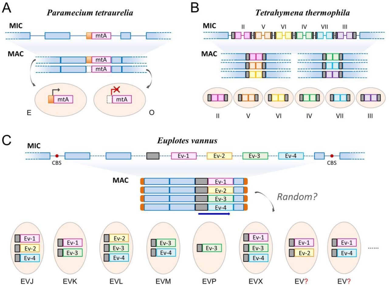 Genome analysis of the unicellular eukaryote Euplotes vannus