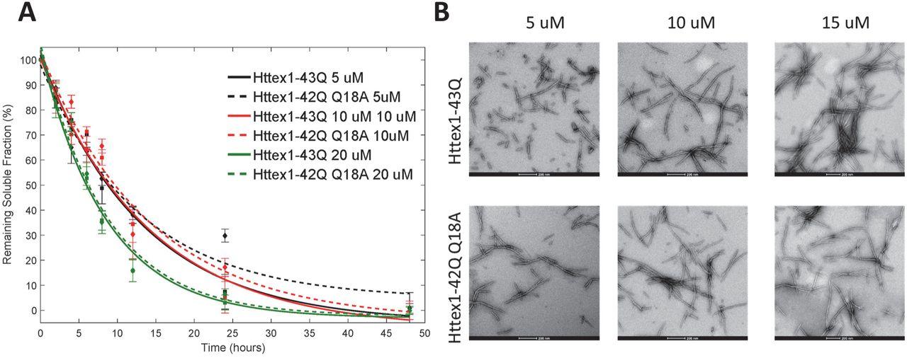 N-terminal phosphorylation of Huntingtin: A molecular switch for