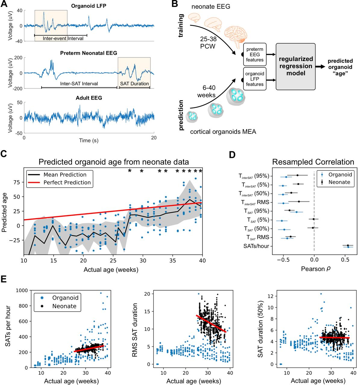 Nested oscillatory dynamics in cortical organoids model