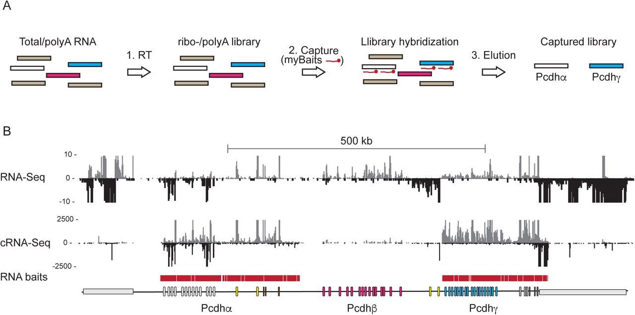 Antisense lncRNA transcription drives stochastic Protocadherin α