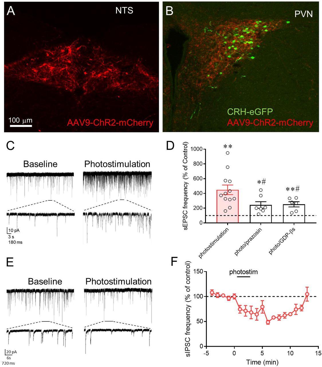 Astrocytes amplify neuronal dendritic volume transmission