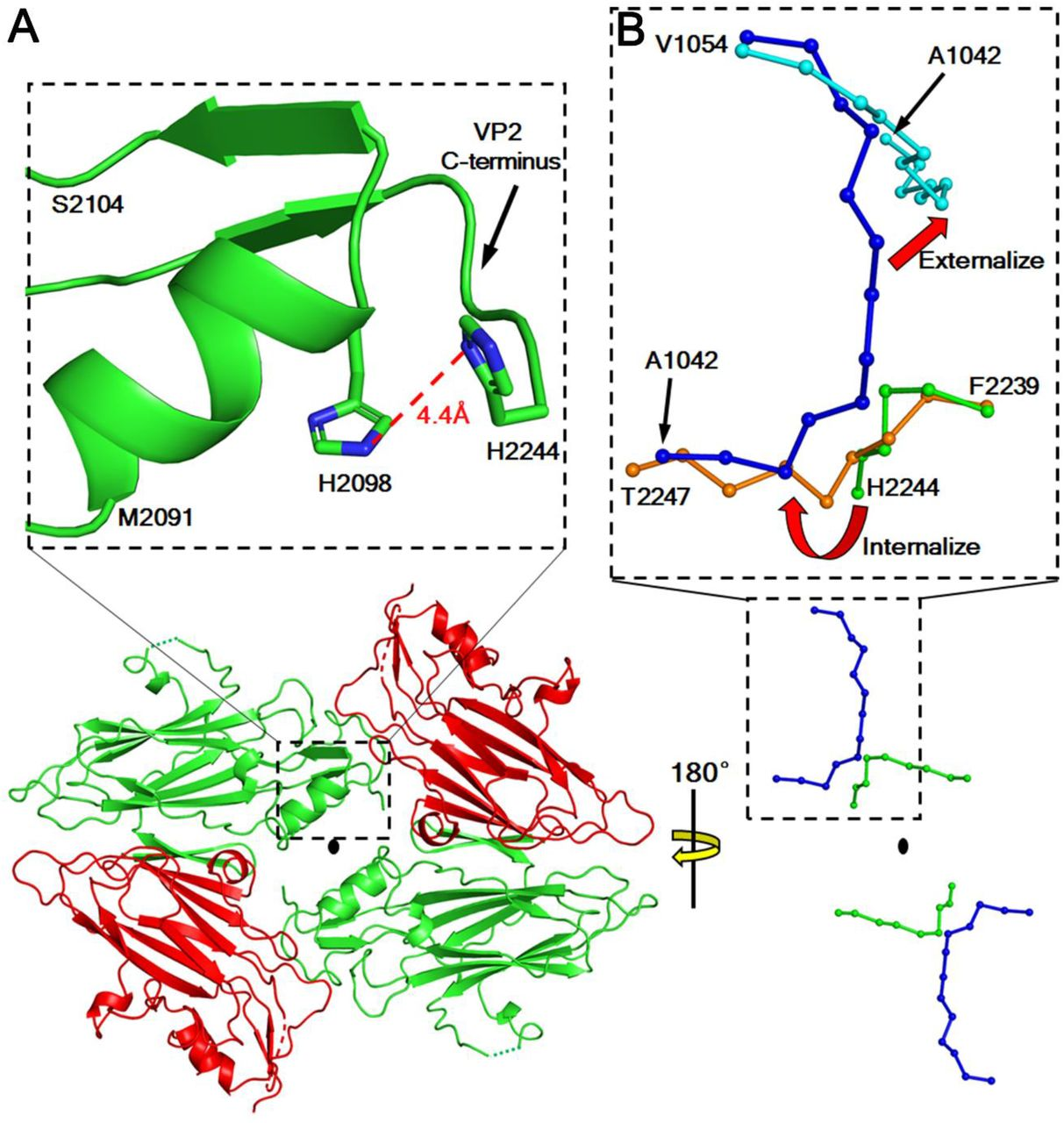 Molecular basis for the acid initiated uncoating of human