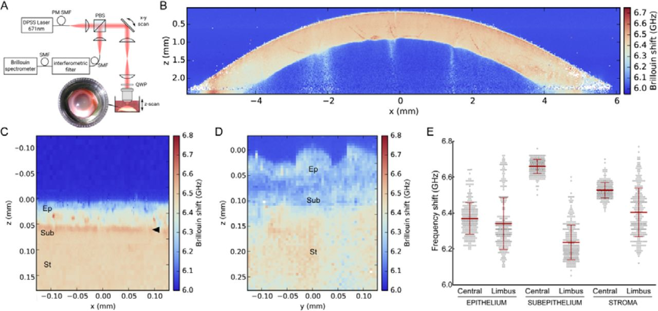 Modulation of corneal tissue mechanics influences epithelial cell