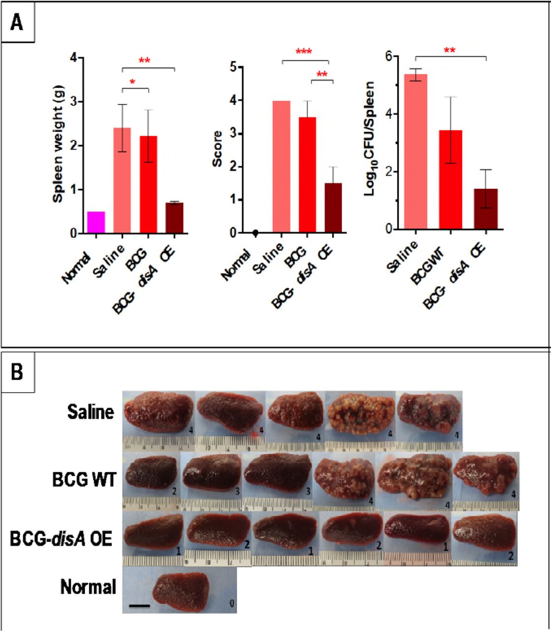 BCG overexpressing an endogenous STING agonist provides