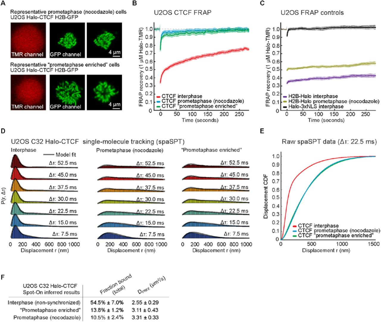 CTCF sites display cell cycle dependent dynamics in factor