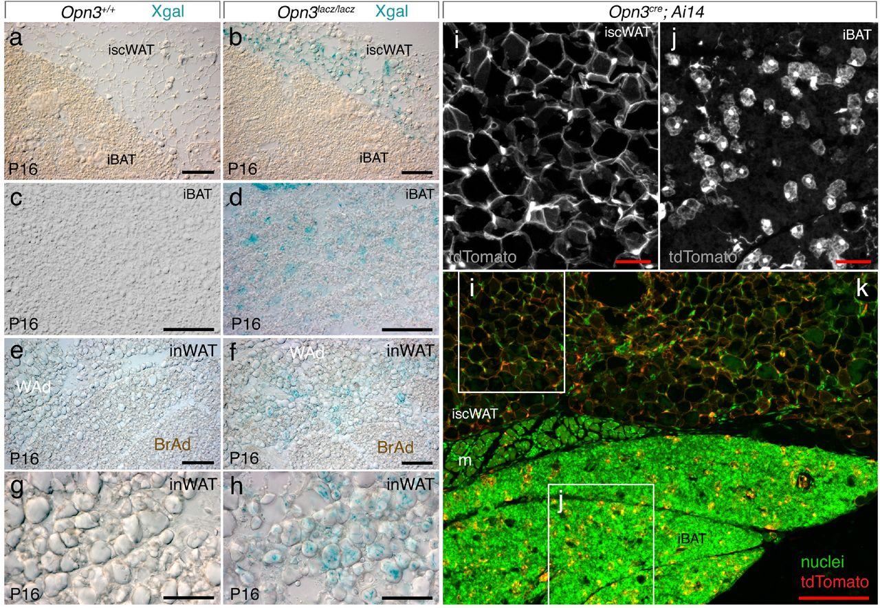 An adipocyte light-Opsin 3 pathway regulates the circadian clock and