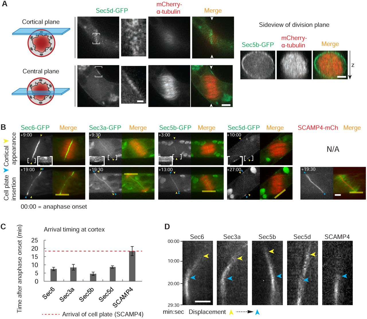Exocyst subunit Sec6 is positioned by microtubule overlaps in the