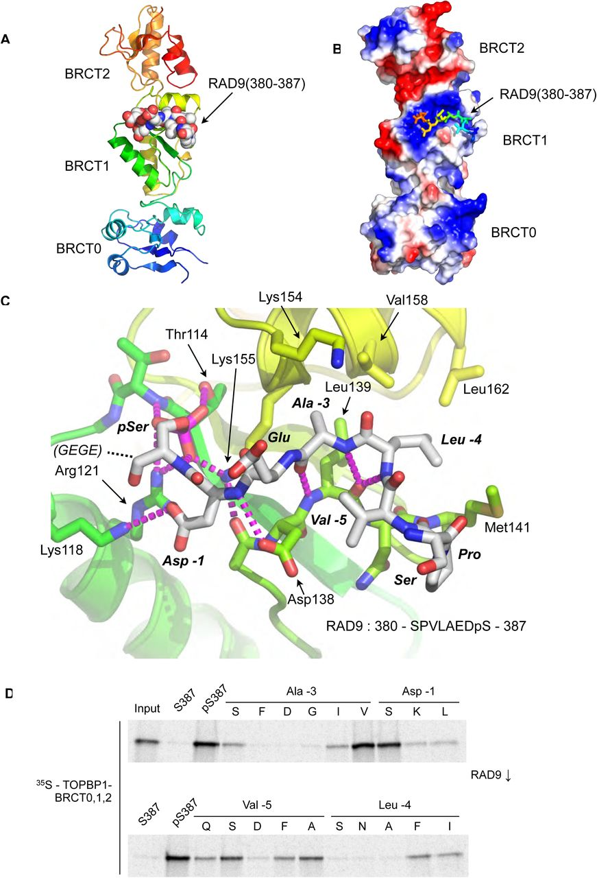 N-terminal BRCT domains of the DNA damage checkpoint proteins TOPBP1