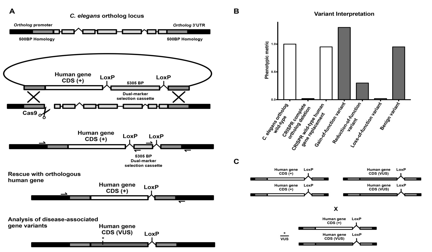 CRISPR-Cas9 gene replacement and phenomic ... on