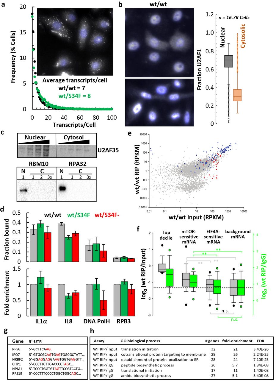 The splicing factor U2AF1 contributes to cancer progression