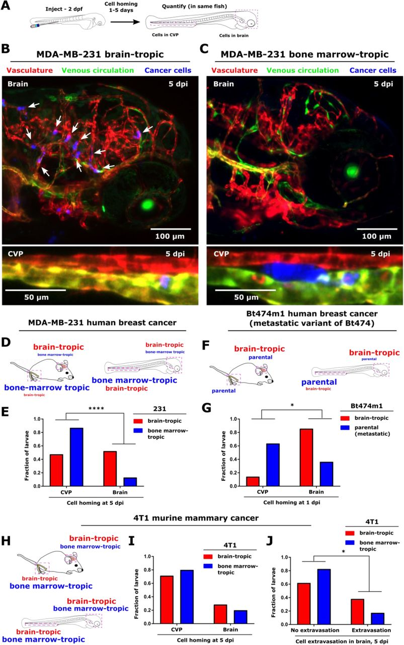 Tissue architectural cues drive organ targeting of human tumor cells