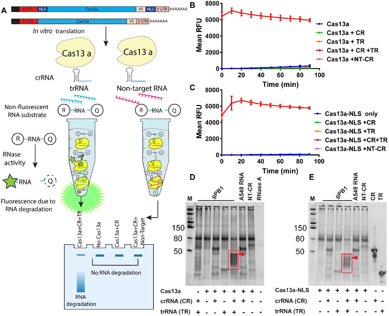 Synthetic mRNA expressed Cas13a mitigates RNA virus