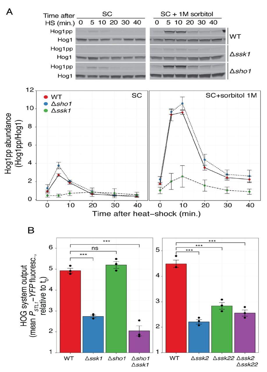 Heat-stress triggers MAPK crosstalk to turn on the hyper