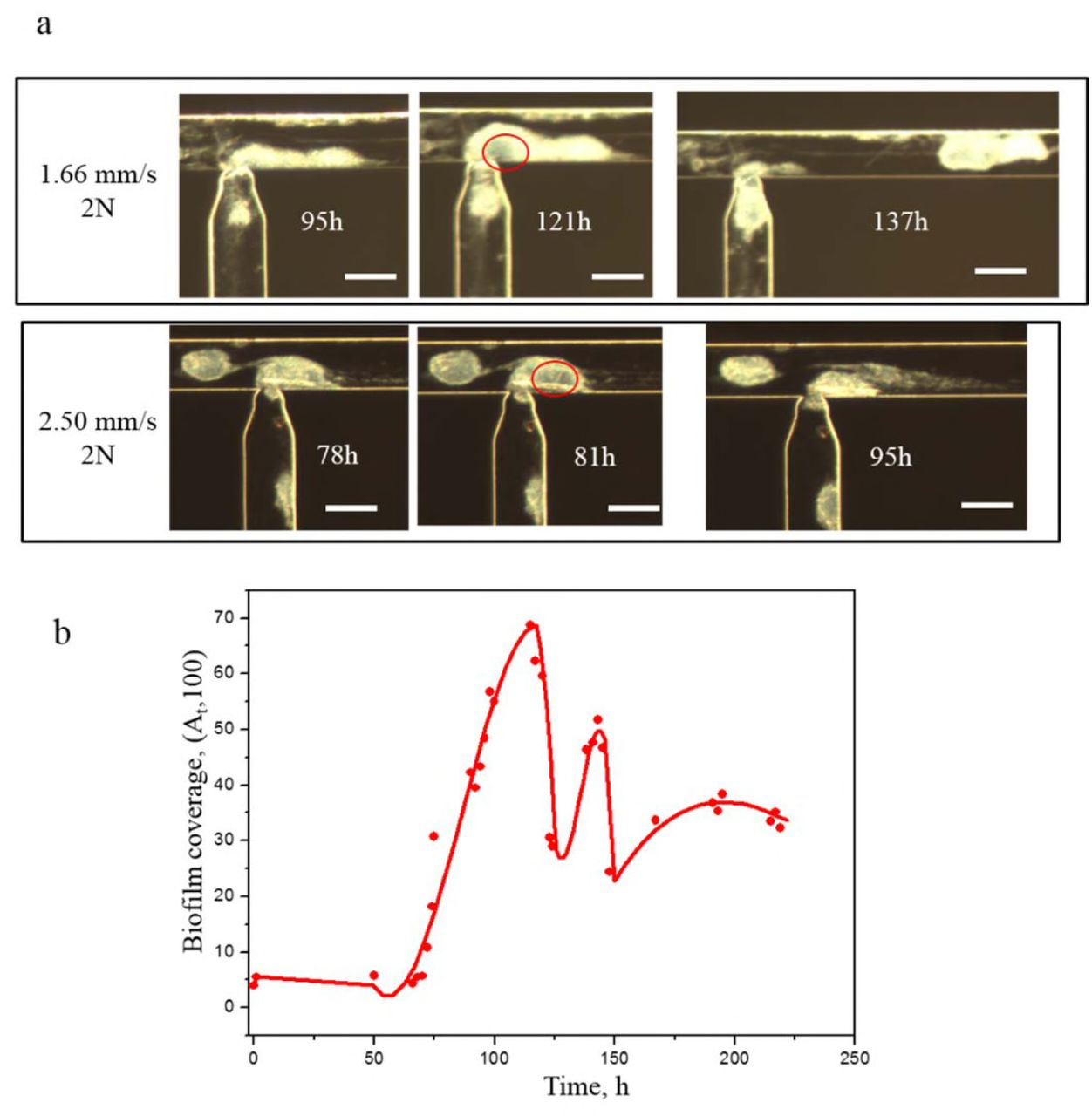 Microfluidic study of effects of flow velocity and nutrient