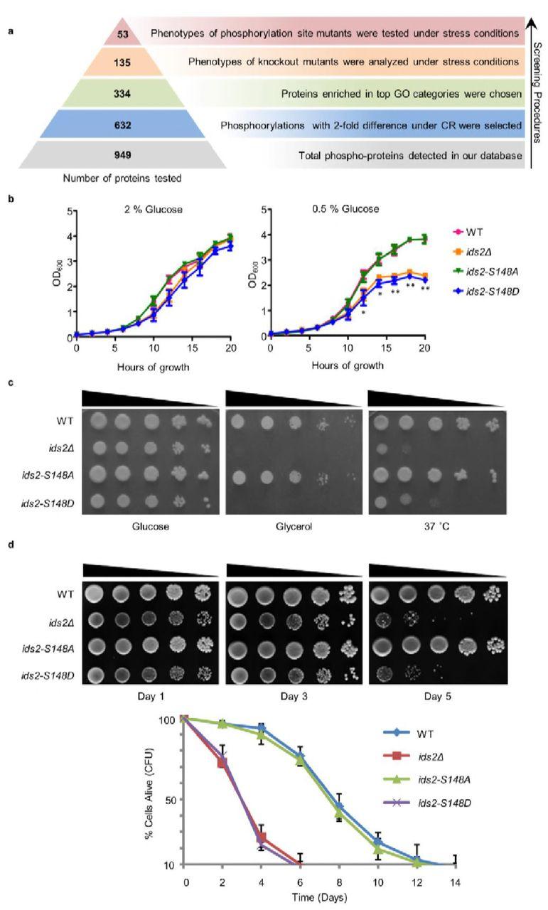 Glucose intake hampers PKA-regulated HSP90 chaperone activity | bioRxiv