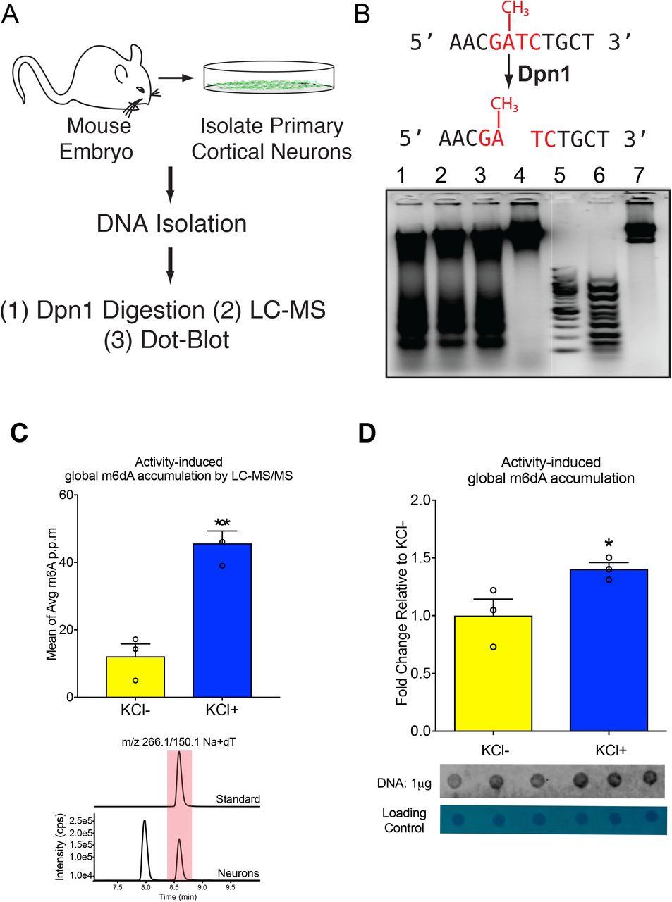 The accumulation of N6-methyl-2'-deoxyadenosine in DNA drives