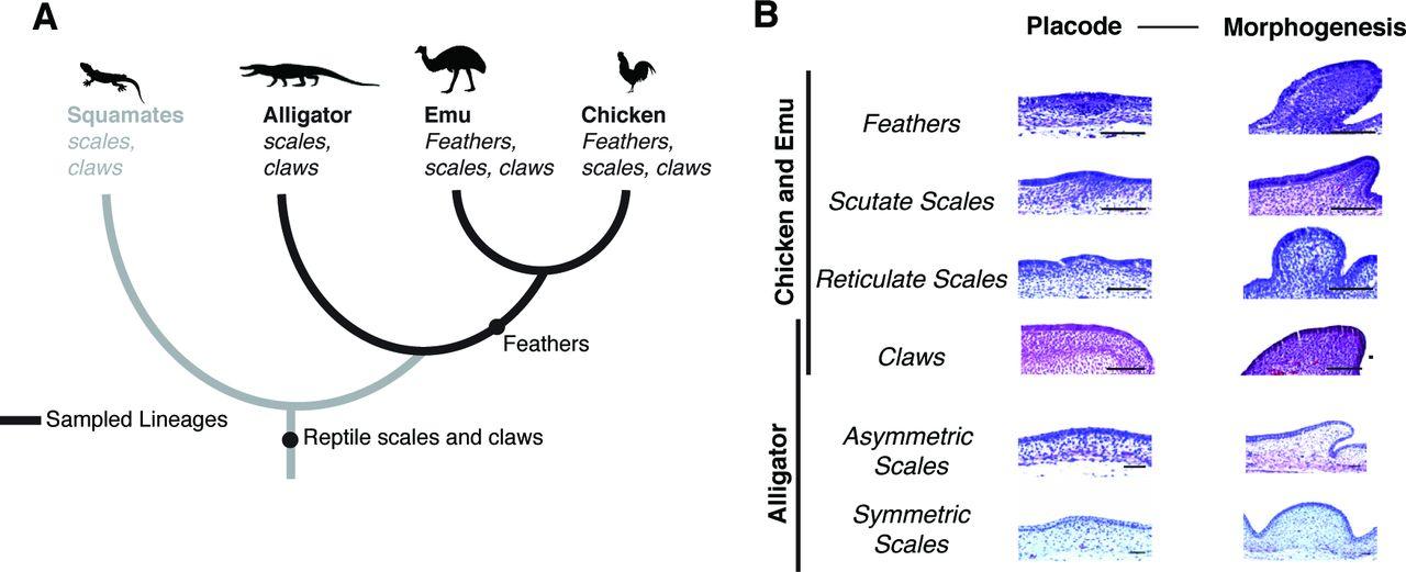 Subdivision of ancestral scale genetic program underlies origin of