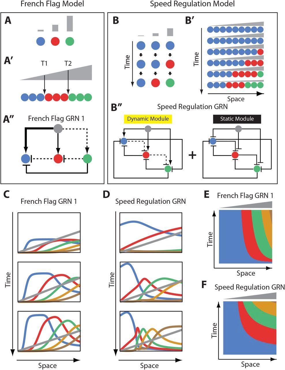 A re-inducible gap gene cascade patterns the anterior