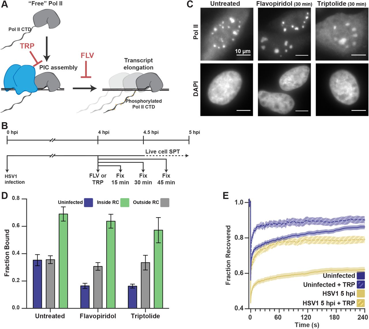 Transient DNA Binding Induces RNA Polymerase II Compartmentalization